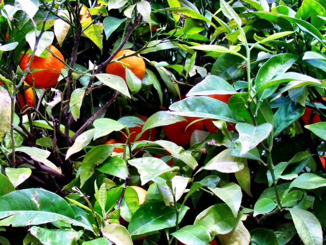 Taking an oranges from backyard for breakfast