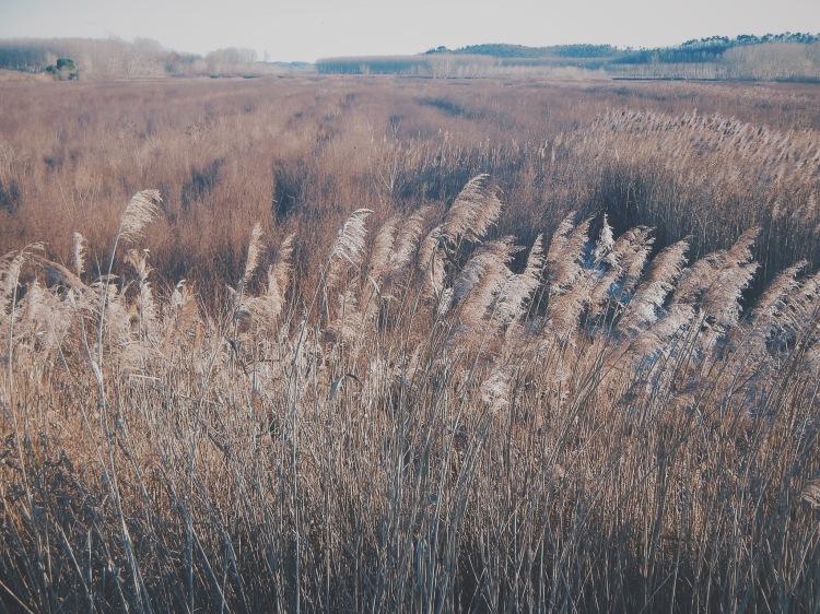 Reeds, endless reeds...